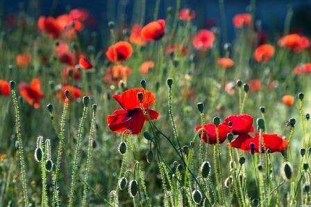 poppies-384926_640